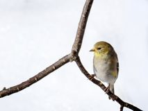 American Goldfinch Bird in Winter Plumage. American Goldfinch (Spinus tristis) sitting on a branch in winter against a snow background Stock Images