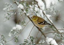 American Goldfinch in Winter Snow. A American Goldfinch (Carduelis tristis) perched on a snow covered Evergreen during a snow storm in winter royalty free stock photo