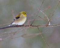 American Goldfinch in Winter Stock Photos
