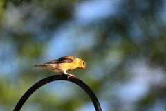 American Goldfinch Royalty Free Stock Images