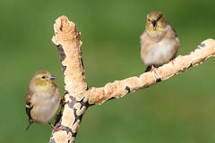 American Goldfinches (Carduelis tristis) Stock Photos
