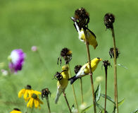 American Goldfinches on Coneflower Stalks. 1 females and 2 male  goldfinches (Carduelis tristis) in summer plumage cling to stems of dead cone flowers to get Royalty Free Stock Photos