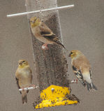 American Goldfinches Feeding in the Rain Stock Photo
