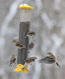American Goldfinches Feeding on a Winters Day Stock Image
