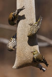 American Goldfinches and Pine Siskins Royalty Free Stock Images