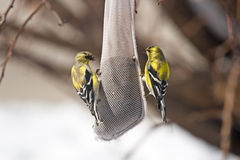 American Goldfinches on a Seed Feeder. Two brightly-colored male American Goldfinched (Carduelis tristus) on a hanging thistle seed feeder Stock Image