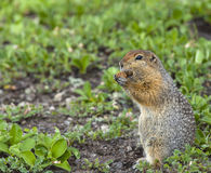 The American gopher on Kamchatka at a volcano foot Royalty Free Stock Images