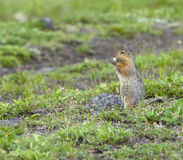 The American gopher on Kamchatka at a volcano foot Royalty Free Stock Photography