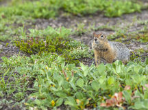 The American gopher on Kamchatka at a volcano foot Stock Photography
