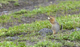 The American gopher on Kamchatka at a volcano foot Royalty Free Stock Image