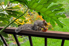 American gray squirrel Royalty Free Stock Photography