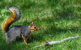 American gray squirrel on the green grass, preparing to jump Stock Images