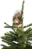American gray squirrel on top of a spruce tree Stock Photography
