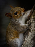 The American gray squirrel on a tree Royalty Free Stock Photos