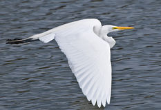 American Great Egret In Flight Over Lake Royalty Free Stock Photos