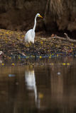 American Great Egret Stock Photography