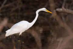American Great Egret Royalty Free Stock Photos