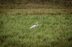 Great Egret fishing in shallows stock image