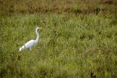 Great Egret fishing in shallows royalty free stock photos