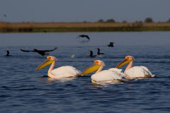 American Great White Pelican. (Pelecanus onocrotalus) on water Stock Image