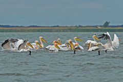 American Great White Pelican Royalty Free Stock Photo