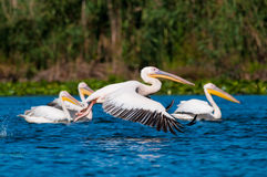 American Great White Pelican. Taking off fro water Royalty Free Stock Photography