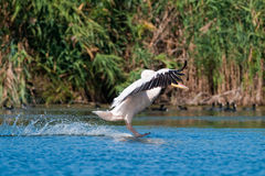 American Great White Pelican. Landing on water Royalty Free Stock Photography