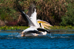American Great White Pelican. Taking off from water Royalty Free Stock Photography