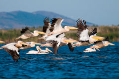 American Great White Pelican. Taking off from water Royalty Free Stock Photo