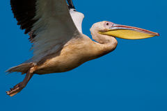 American Great White Pelican Stock Photo