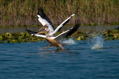 American Great White Pelican. Taking off from water Stock Photos