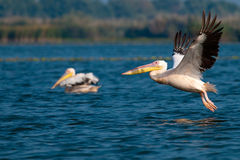 American Great White Pelican Royalty Free Stock Photos