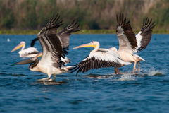 American Great White Pelican. Taking off from water Royalty Free Stock Photos