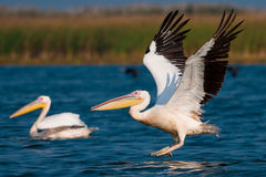 American Great White Pelican Royalty Free Stock Image