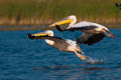 American Great White Pelican Stock Photos