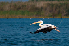 American Great White Pelican. Taking off from water Royalty Free Stock Image