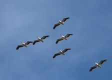 American Great White Pelican in flight Stock Images