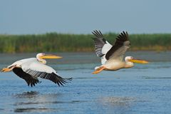 American Great White Pelican in flight Stock Photo