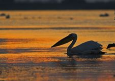 American Great White Pelican silhouette Stock Image