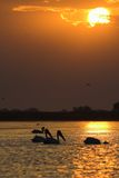 American Great White Pelican silhouette Stock Photography