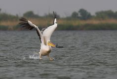 American Great White Pelican taking off Stock Photos