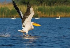 American Great White Pelican taking off Stock Photo