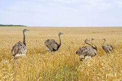 American Greater Rheas Stock Photography