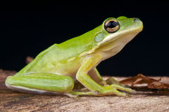 American green tree frog. The American green tree frog (Hyla cinerea) is a common species of New World tree frog belonging to the genus Hyla. It is a common Royalty Free Stock Photos