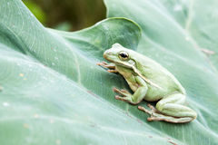 The American green tree frog on the big green leaf Royalty Free Stock Images
