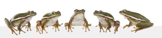 The American green tree frog (Hyla cinerea) Royalty Free Stock Photos
