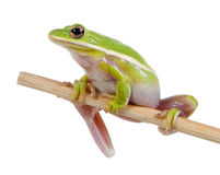 The American green tree frog (Hyla cinerea) Stock Photos