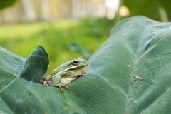 The American green tree frog (Hyla cinerea) Royalty Free Stock Photography