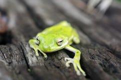 American Green Tree Frog, Hyla cinerea. A common tree frog of the Southeast United States. Monroe, Walton County, Georgia, USA stock photography