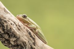 American Green Tree Frog, Hyla Cinerea, perched on a branch, against a soft green background. Stock Image